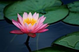 Lily Pad Pink Lotus Flower