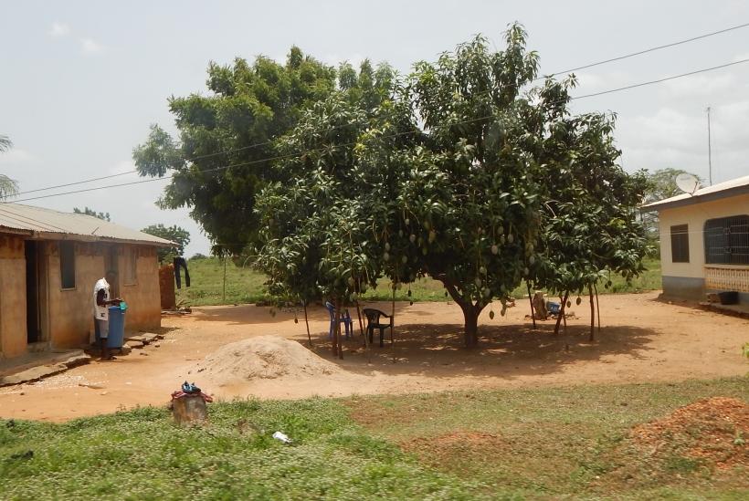 Mango tree in the yard